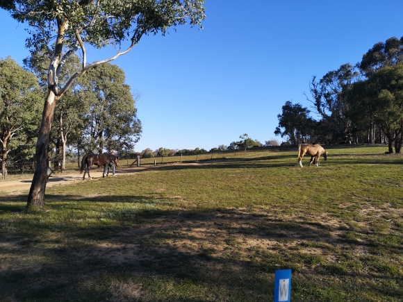 horses on Aranda hill, Belconnen, ACT, Australia