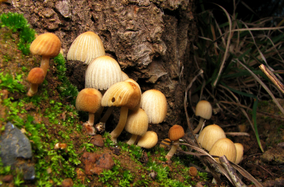 Coprinellus disseminatus. Photo Michael Whitehead (CC BY-SA 2.0)